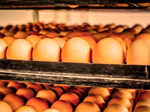 Posición de los huevos en la incubadora